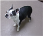19-445 Chrissy female black/white Boston Terrier