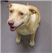 19-447 Maggie light tan female Pit/Lab mix