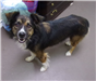 19-448 Lacey tri color female collie/Aussie mix