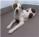 19-451 Elvis white with brown markings male St. Bernard mix