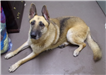 19-453 Sheba tan/black female German Shepherd mix