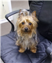 19-457 Pumpkin tan/silver/black male Yorkie