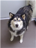 19-464 Azul black/tan female Husky mix