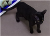 19-469 Bagheera male black cat