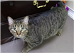 19-467 Fraya grey/black striped female cat