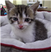 19-476 Marvin 6-8 week old male kitten white with tan/grey markings