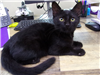 19-477 Mickey solid black male 3 pound cat
