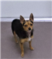 19-493 Chi female black/tan/white Chihuahua/Terrier mix