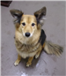 19-496 Piper tan/brown female Sheltie mix