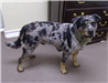 19-501 Dingo black/grey/tan male Heeler/Catahoula mix