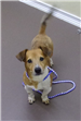 19-515 Marbles tan and white male Corgi/Dachshund mix
