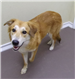 Starla 19-522 female golden mix