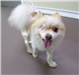 Milo 19-532 tan/white male Pomeranian