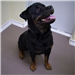 19-535 Macho black/tan Rottweiler mix male