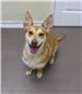 19-571 Asher tan/white male Corgi mix