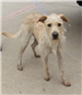 Archie 19-590 Tan male Terrier mix