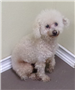 19-614 Curly white male Poodle mix