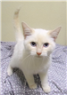 19-617 Rocky male cream point Siamese cat