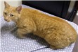 19-628 Ginger orange female Tabby