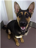 19-631 Bogie young male black/tan German Shepherd