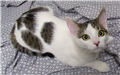 19-651 Simon male cat - white with black/grey markings