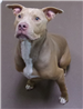 19-643 Crew male tan/white Pit mix
