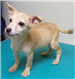 19-665 Fifi young female tan Chihuahua mix