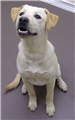 19-667 Tex young male yellow Lab mix