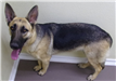 19-673 Jessie female black/tan German Shepherd