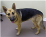 19-672 James male black/tan German Shepherd
