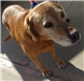 19-674 Pumpkin senior female golden Lab mix