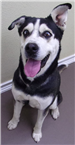 Rocky 19-676 male black/white Husky/Shepherd mix