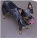 Sydney 19-680 female Blue Heeler