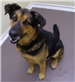 Handsome Hank 19-685 black/tan male GS mix