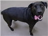 19-687 Arby adult male black Lab