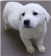 19-693 Molly female white Pyrenees puppy