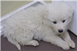 19-692 Holly female white Pyrenees puppy