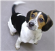 19-698 Finn tri-color male Beagle (about 6 months old)