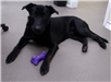 19-702 Ace male black Lab mix