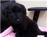 19-705 Zeus male 6-8 week old black Lab or Newfoundland