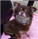 19-707 Sooki brown/white/tan female long haired Chihuahua