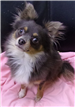 19-706 Blue black/tan/white male long haired Chihuahua