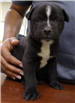 19-697 Leonardo black/white male Lab/Pit pup