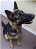 Gerald 19-715 black/tan male German Shepherd