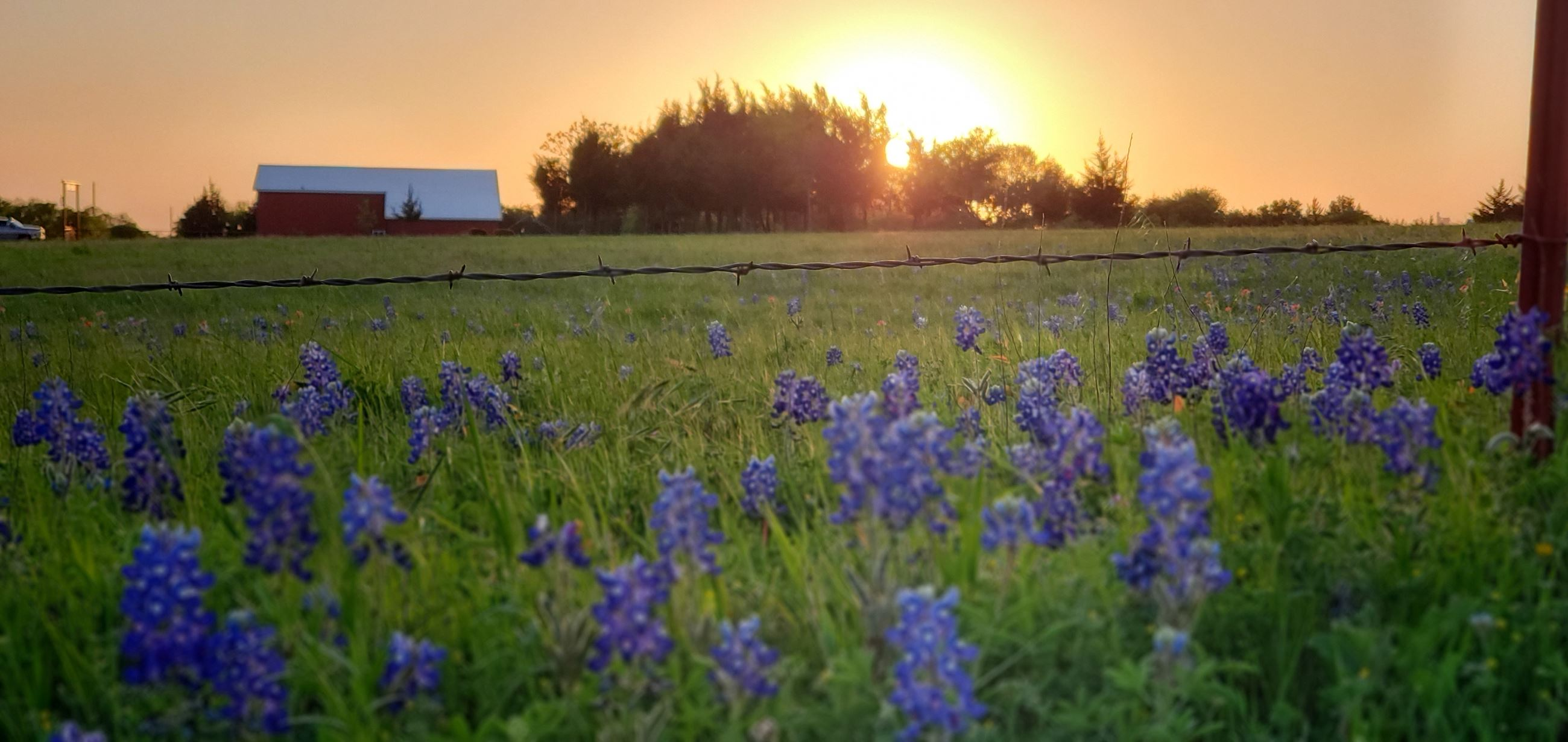 Barbed-wire fence with pasture of bluebonnets and grass with red barn, trees, sunrise in background.
