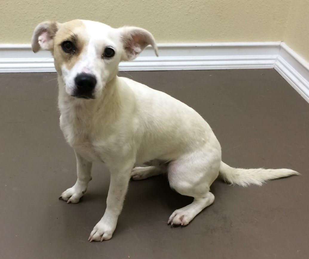 Gidget 17-581 Female tan/white Terrier mix