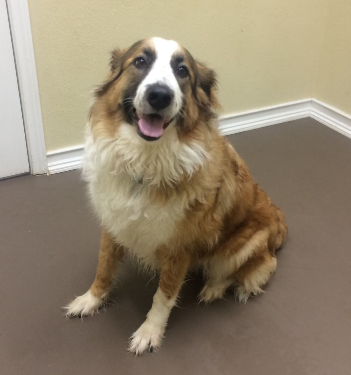 Xena 17-432 large tan and white female border collie/pyrenees mix