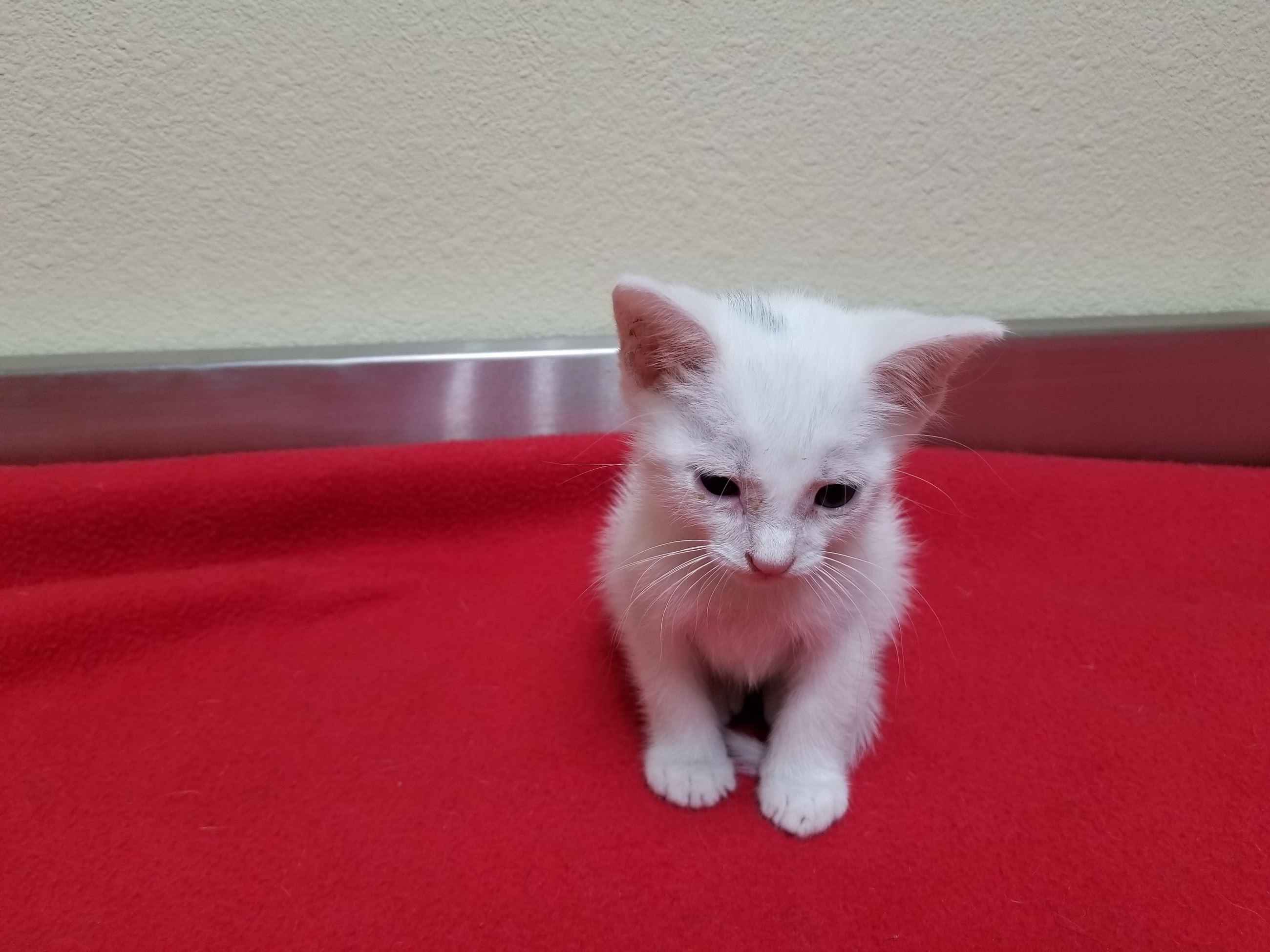 Prince 17-474 male solid white 6 week old kitten