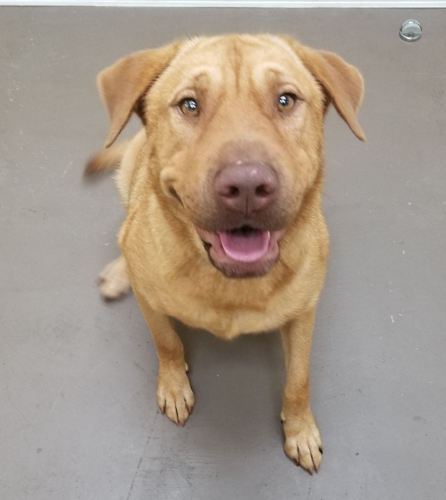Bruno 17-506 2 year old male Lab/Shar Pei mix - tan
