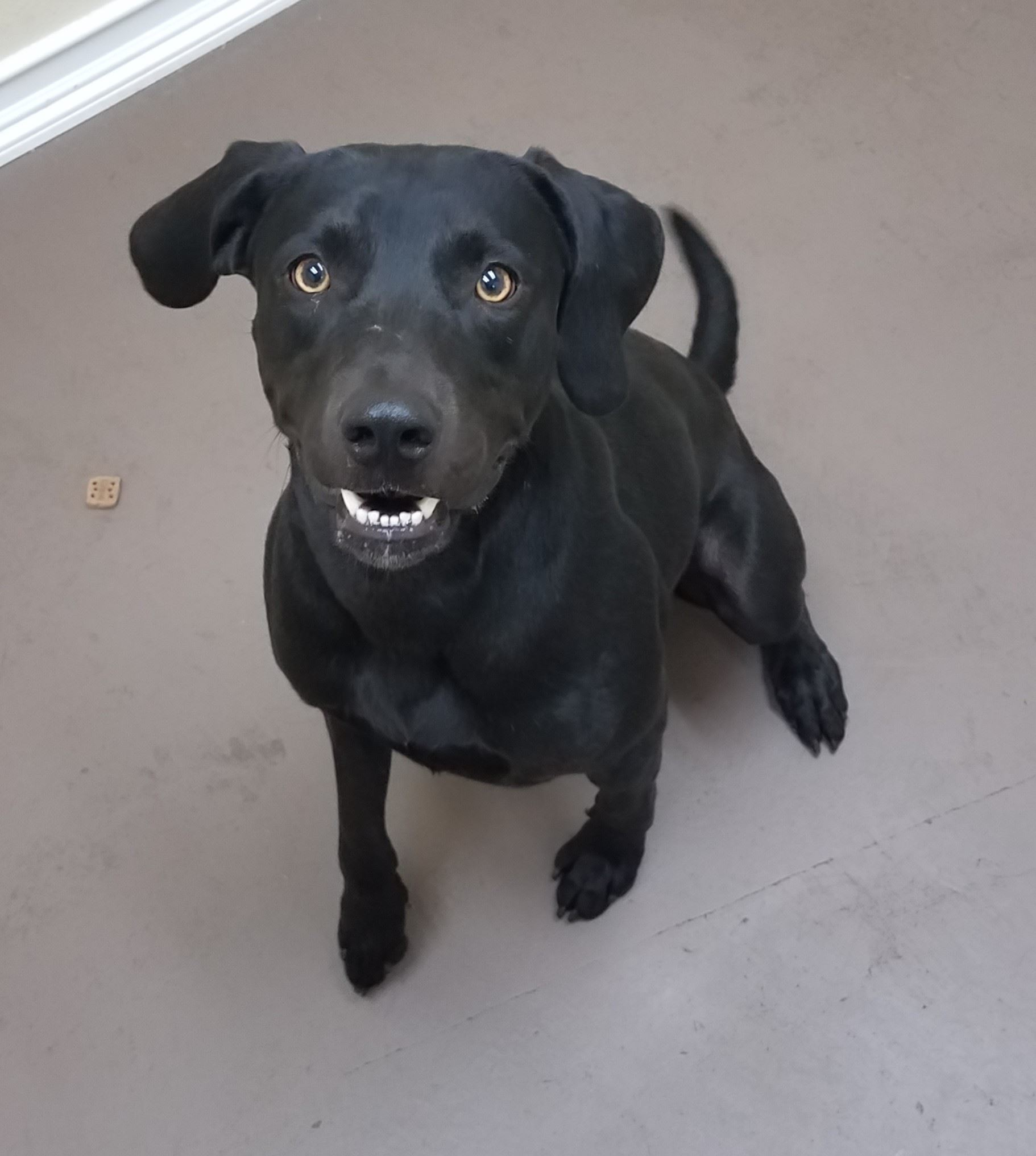 Trooper 17-542 male black Lab